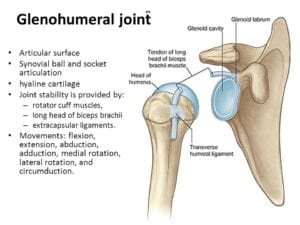 glenohumeral-joint-shoulder-joint-shoulder-bone-framework-clavicle-scapula-form